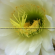 Pemanfaatan Minyak Biji Jarak Pagar (Jatropha curcas Linn) sebagai Insektisida Botani Untuk Pengendalian Ulat Spodoptera litura Fabricius)