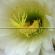 Penggunaan Pupuk Anorganik Gandasil D + Vitamin dan Asam Amino dari Medium Murashige Skoog (MS) Sebagai Medium Pertumbuhan Eksplan Batang Nilam (Pogostemon cablin Benth.) Secara In Vitro